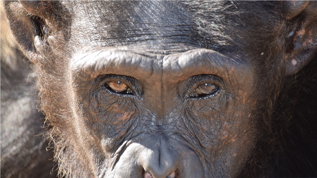 EthoNews page – picture of an adult female chimpanzee