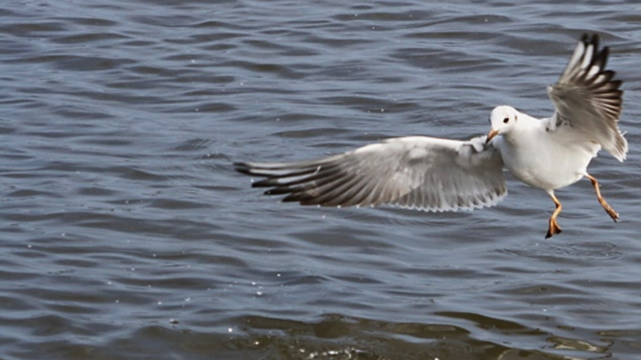 Awards page – picture of a black-headed gull landing
