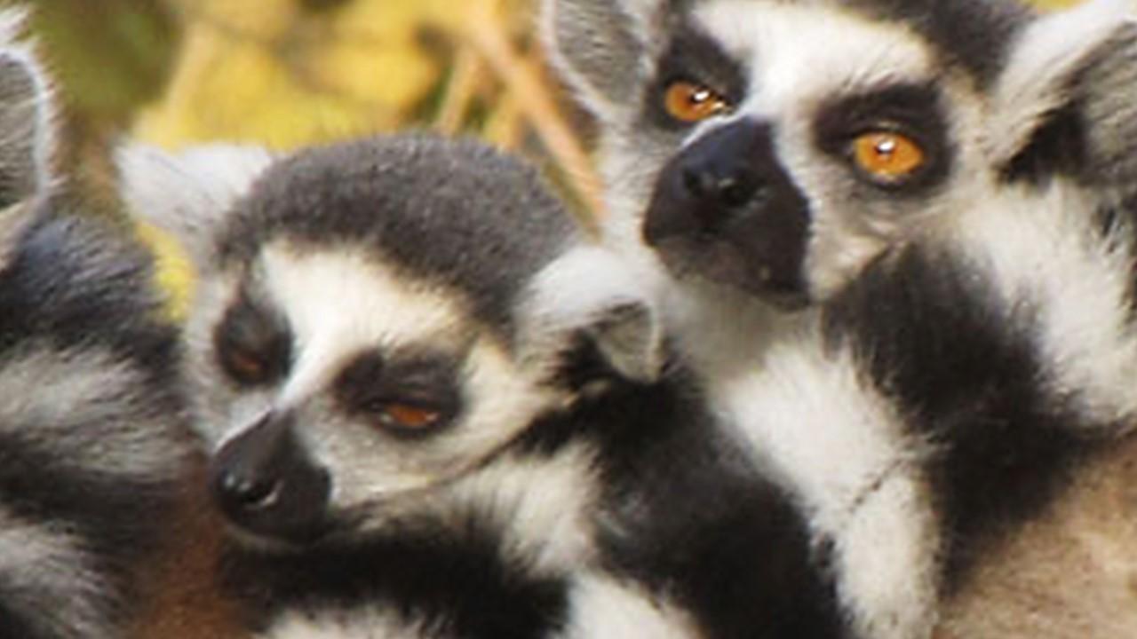 Chronicle page – several lemurs huddling together