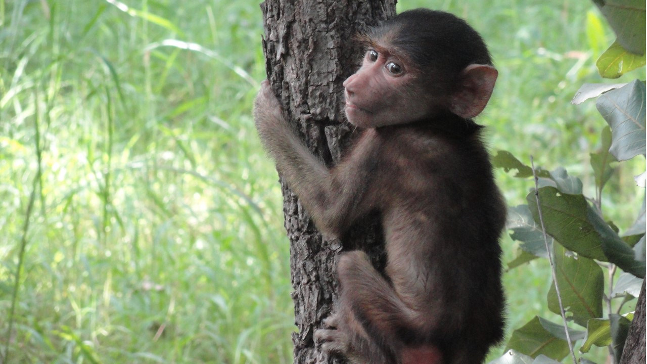 Join us page – picture of a young Guinea baboon