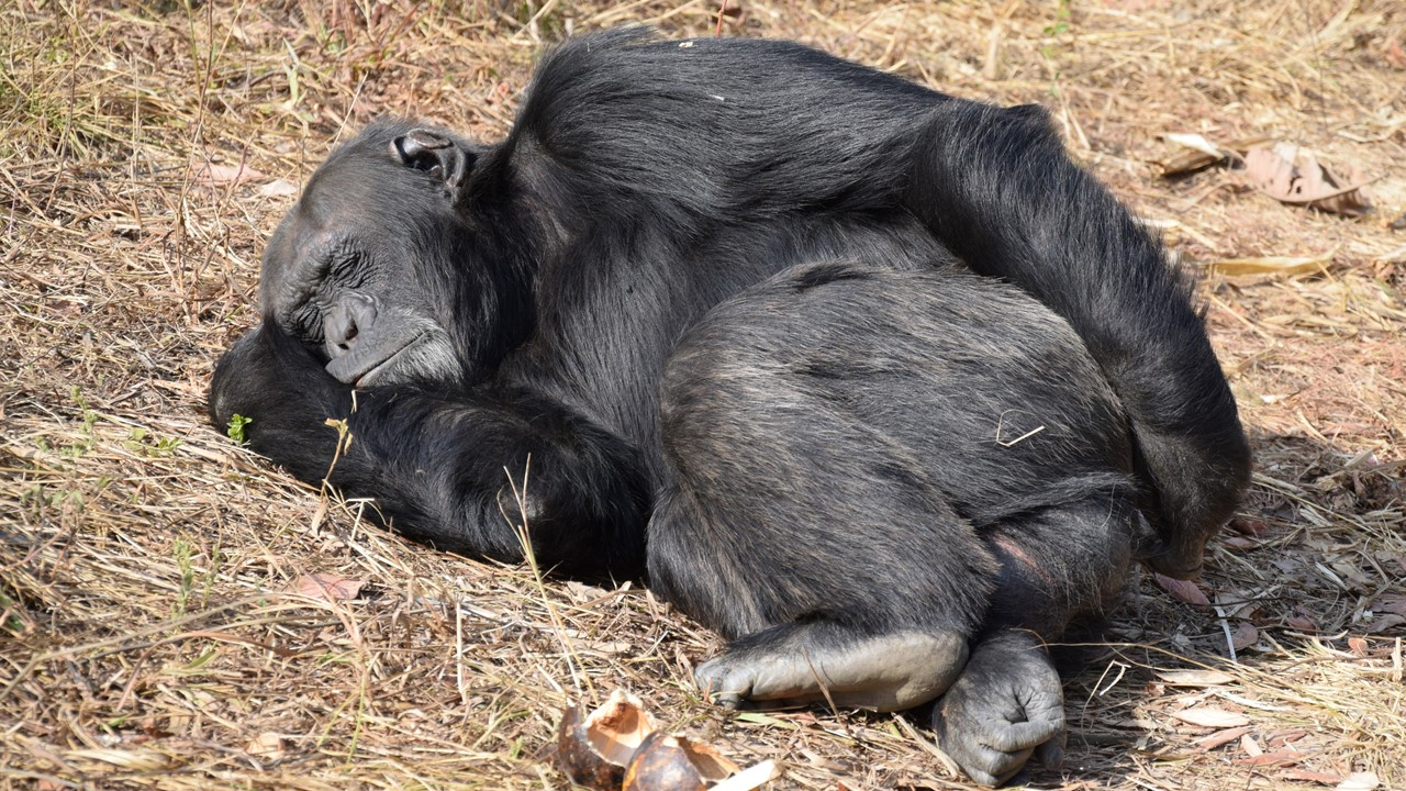 Resources page – picture of an adult male chimpanzee sleeping