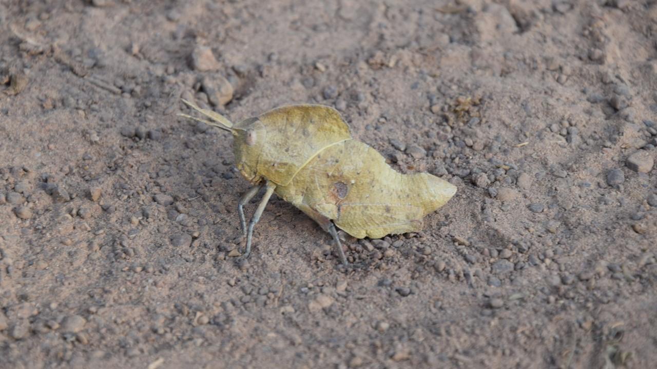 Statutes page - African grasshopper